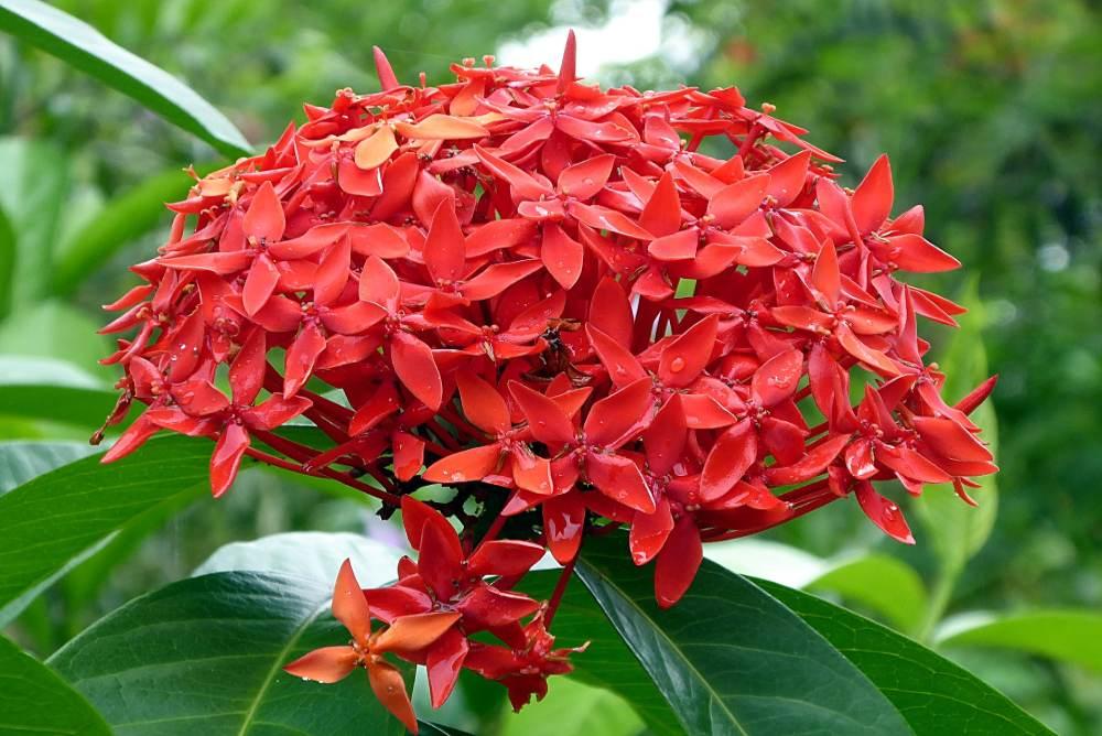 7 พันธุ์ดอกเข็มยอดนิยม ไม้ประดับริมรั้ว ปลูกง่าย ดูแลไม่ยาก