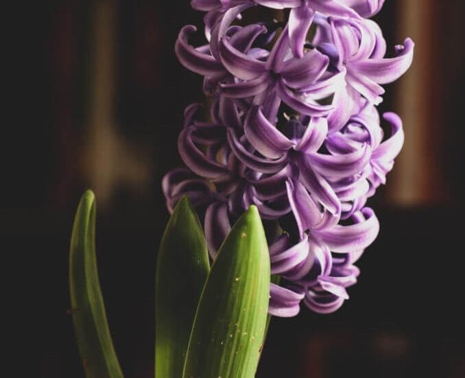 ดอกไฮยาซิน
