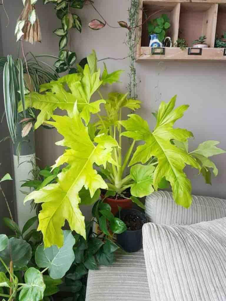 ต้นฟิโลใบมะละกอสีทอง